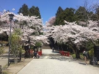 東照宮 桜3.JPG