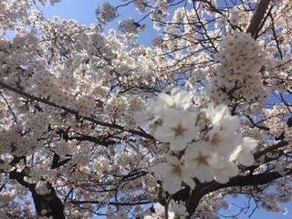 東照宮 桜.JPG