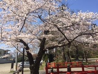 2東照宮 桜.JPG